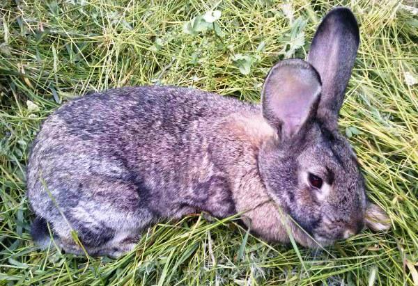 Coccidiozei la iepuri