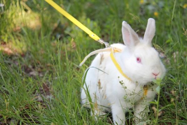Cum să aibă grijă de iepuri