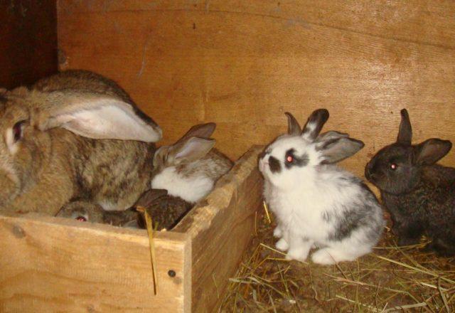 Sarcina Rabbit