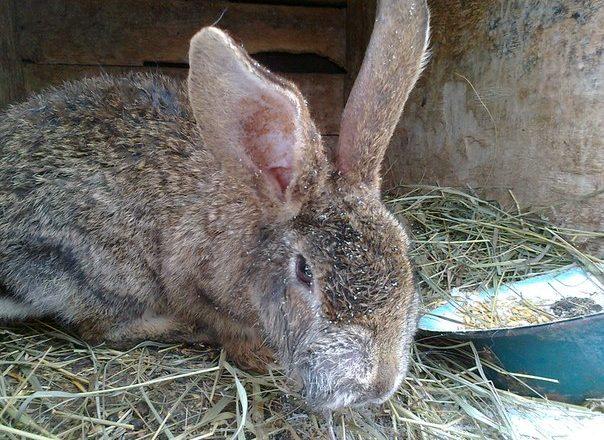 Myxomatoza la iepuri