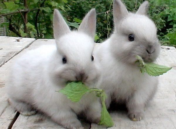 Ce să hrănești iepurii