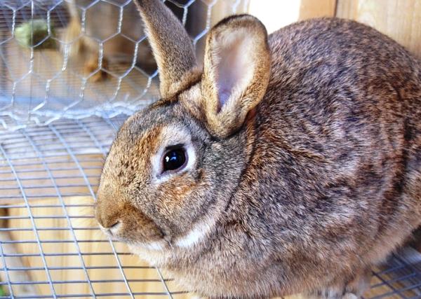 Diaree la iepuri