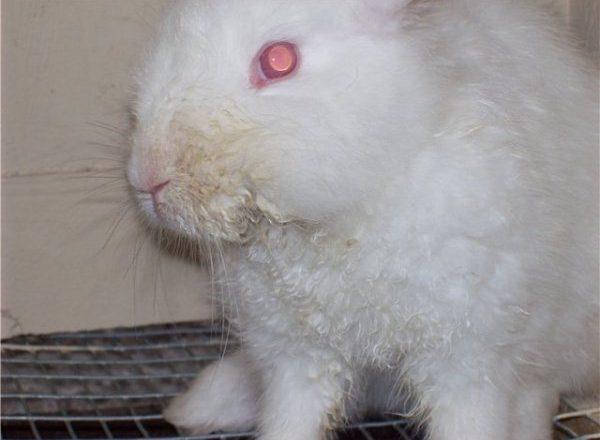 Stomatita infecțioasă la iepuri