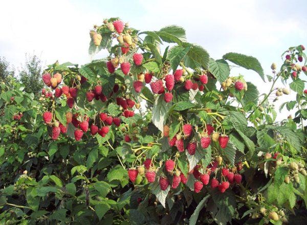 Raspberry Tarusa: descrierea soiului, plantarea si ingrijirea