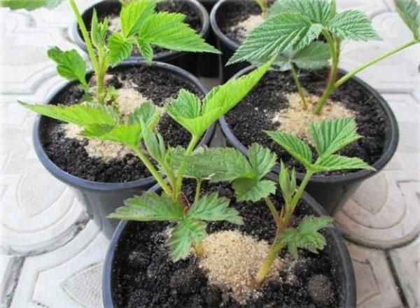 Reproducerea zmeurii: căi și metode, caracteristici ale plantării răsadurilor