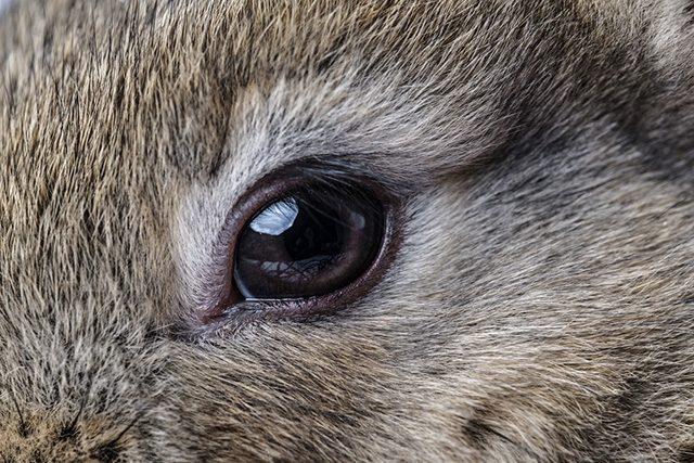 Bolile ochilor de iepure