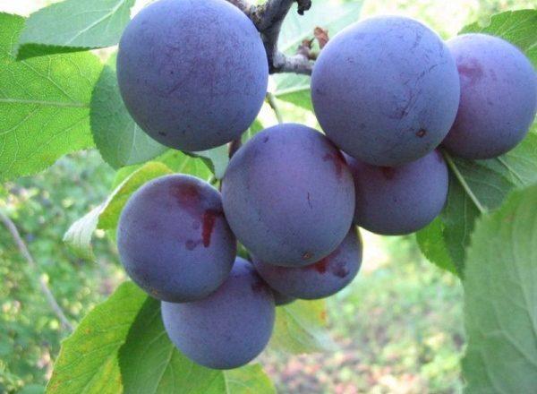 Grad de prune albastru