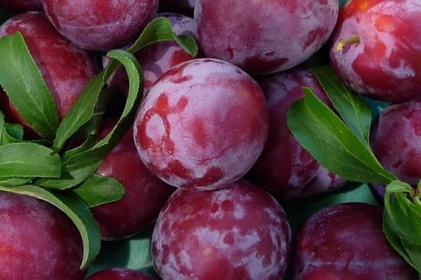 Caracteristicile descriptive ale prunei chinezești, skoroplodnaya