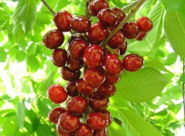 Colonie Cherry