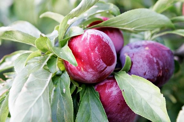 Boli prune
