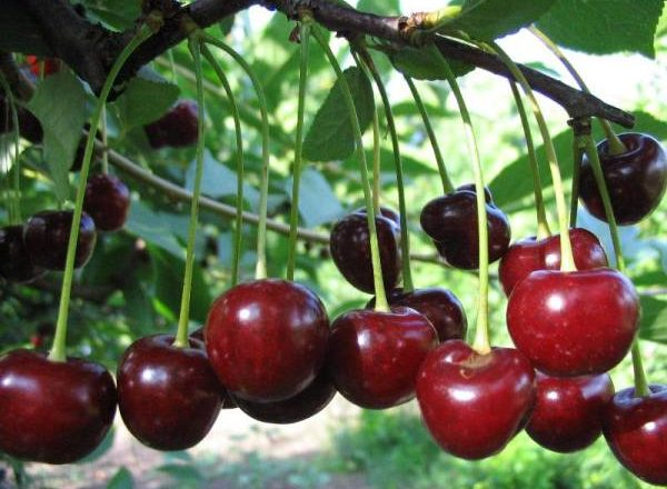 Cherry Tineret varietate