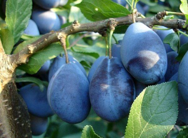 Stenley de prune
