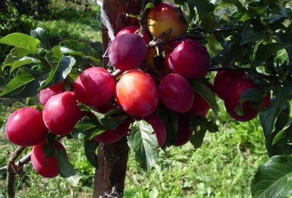 Ural varietate roșie de prune: descrierea arborelui, plantarea și îngrijirea, controlul dăunătorilor și bolilor