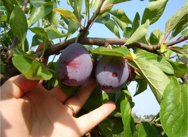 Când și cum să colectăm prune: suntem hotărâți cu termenii, urmăm tehnologia