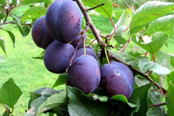 De ce prunele nu dau roade și ce să facă?