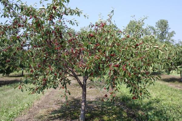 Plantarea cireșelor în toamnă, îngrijirea copacilor, recomandări utile