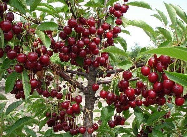 Recoltă abundentă de cireșe