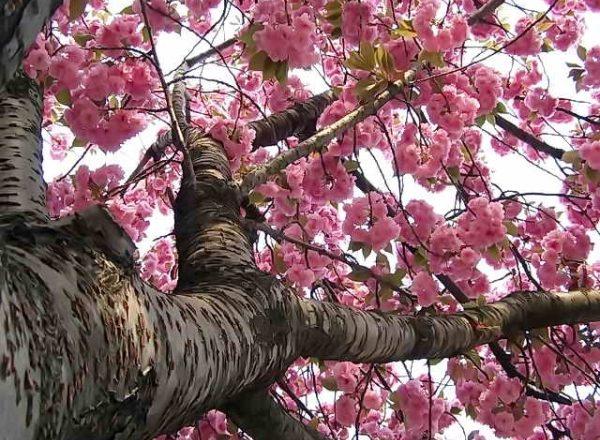Cireșele japoneze Sakura: caracteristicile descriptive ale copacului, plantarea, îngrijirea, soiurile