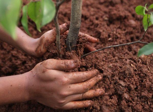 Cum și când este mai bine să plantați și să replantați scurgerea: un ghid pas cu pas pentru plantare și îngrijire