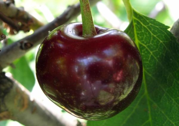 Soiul cireșului Vladimirskaya: descrierea copacilor, plantarea și îngrijirea, protecția împotriva bolilor și dăunătorilor