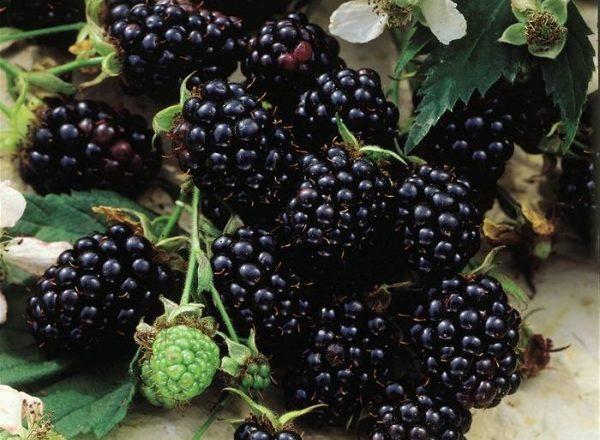 Soiurile de Blackberry Chester: descriere și specificații, sfaturi privind plantarea și îngrijirea
