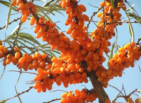 Plantarea și cultivarea cătină-de-mare din țară, îngrijire și tăiere, plante de transplant