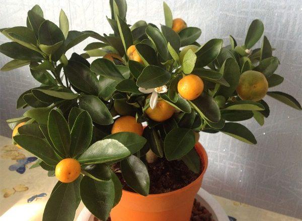 Cameră Mandarin