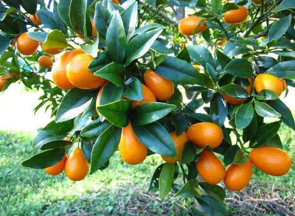 Fructe tropicale Kumquat