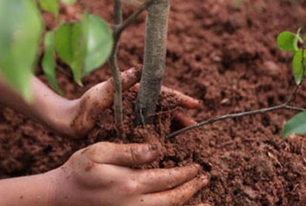 Plantarea puieților pomi fructiferi