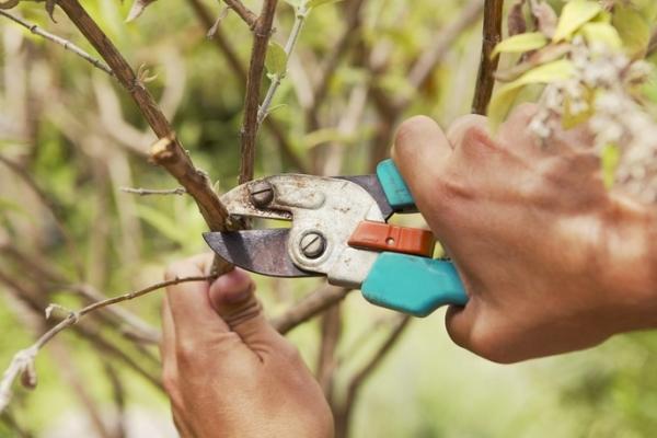 Tunderea pomilor fructiferi: de ce este necesar și când este efectuată?