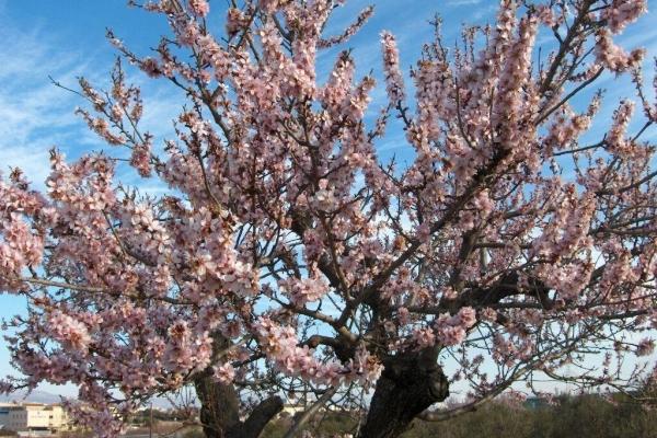 Descrierea detaliată a copacilor de migdale, plantare și îngrijire