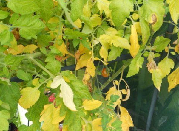 De ce frunzele de tomate devin galbene