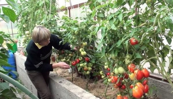 Îngrijirea tomatelor