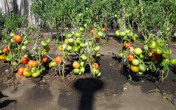 Cultivarea tomatelor conform metodei lui I. M. Maslov