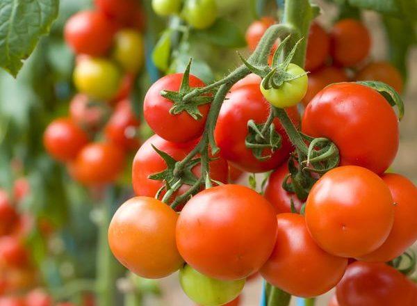 Ce poate fi plantat după tomate