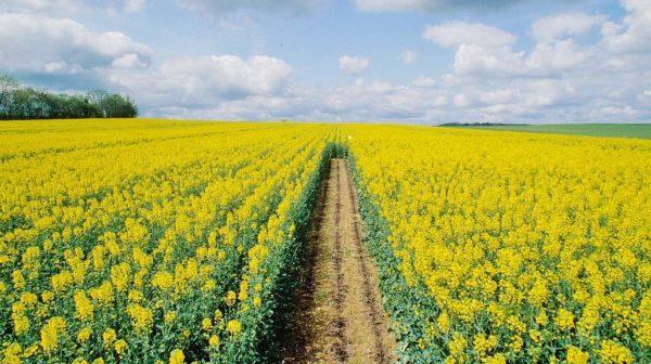 Canola ca siderat este adesea plantată în câmpuri