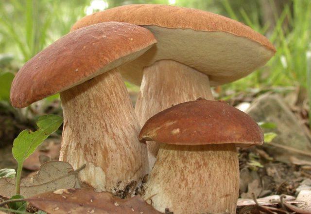 cum să crească ciuperci albe în țară