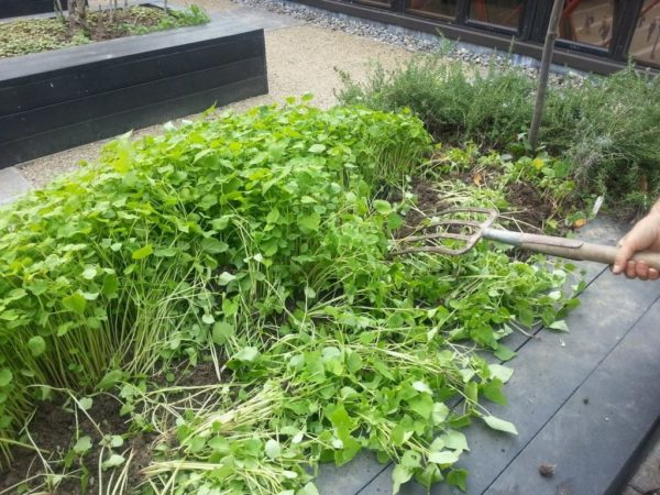 siderata în grădină