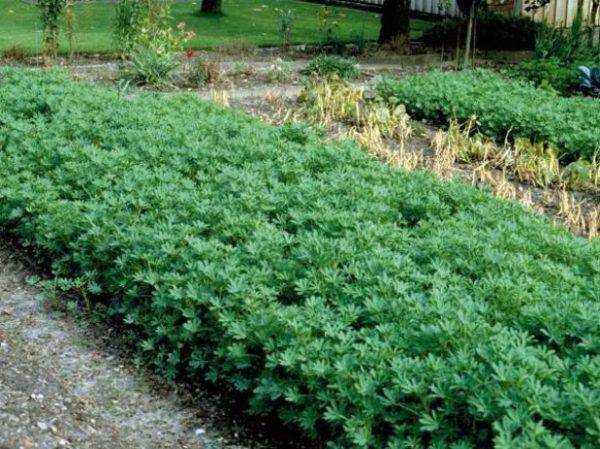 Lupina tăiată la 1,5 luni după plantare