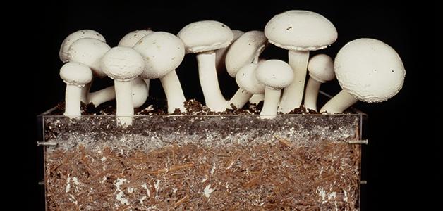 Ciuperci de compost