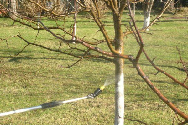 Pe lângă arbori, este de dorit să se pulverizeze zone adiacente