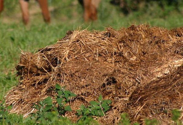 Îngrășămintele de paie din îngrășăminte măresc randamentul gunoiului de grajd de 2 ori