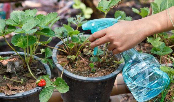 Utilizarea sulfatului de magneziu pentru plante