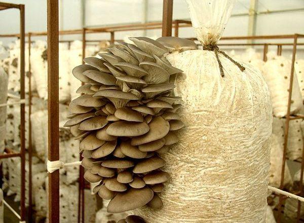Cultivarea ciupercii de stridii la domiciliu