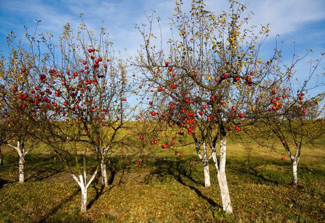 Îmbogățiți-vă mărul în toamnă