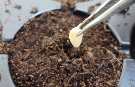 când să planteze castraveți