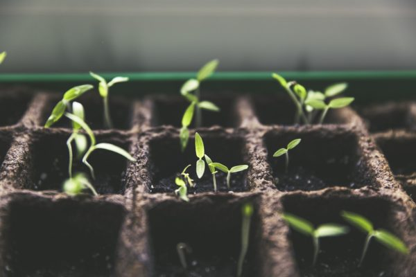 Plantarea castravetelor are loc în luna mai