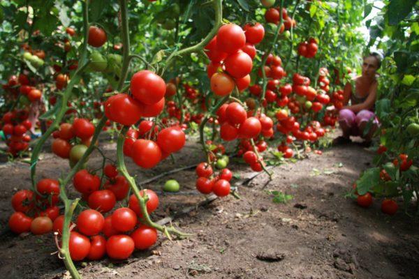Tomatele sunt considerate unul dintre cei mai buni predecesori pentru castraveți.