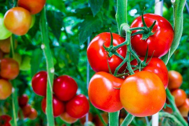 Mascarea de tomate