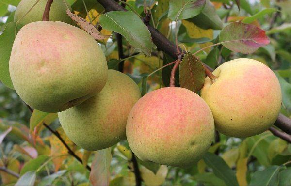 Rossoshanskaya - o pere cu fructe de coacere toamna